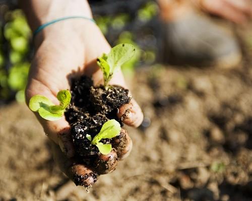 Hand Holding Three Organic Lettuce Seedlings in Dirt