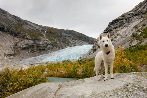 White German Shepherd in front of a glacier tongue, White Swiss Shepherd, hiking tour in Autumn, Jostedalen, Nigardsbreen, Jostedalsbreen national park, Sogn og Fjordane, Norway, Scandinavia, Europe