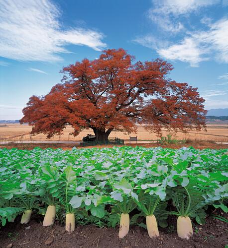 raddish, shadetree
