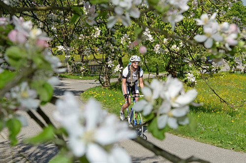 Young woman riding a racing bicycle along a road during the apple blossom season, Samerberg, Upper Bavaria, Germany