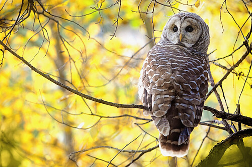 'Barred Owl (Strix Varia); Pigeon Lake, Alberta, Canada'