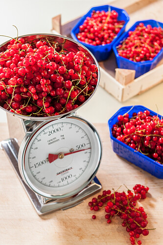Weighing redcurrants, making jam, Hamburg, Germany