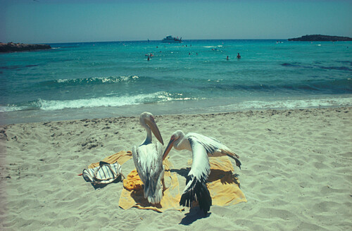 Pelikane am Badestrand, Limassol, Zypern
