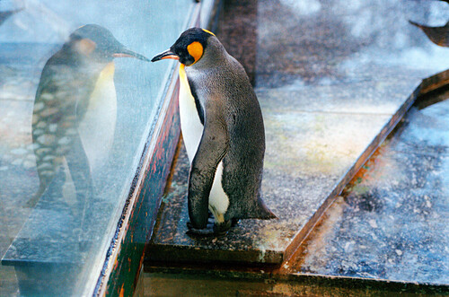penguin looking out of window, raining weather, wet window, raindrops, standing upright, zoo, having a roof above head, starring, in thoughts, grotesque, longing for, desire for