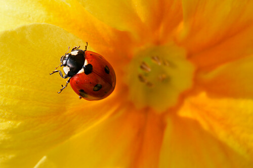 Ladybug In Spring On The Flowers