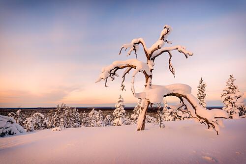 Tief verschneiter Baum auf einem Hügel im Pyhä-Luosto Nationalpark, finnisch Lappland