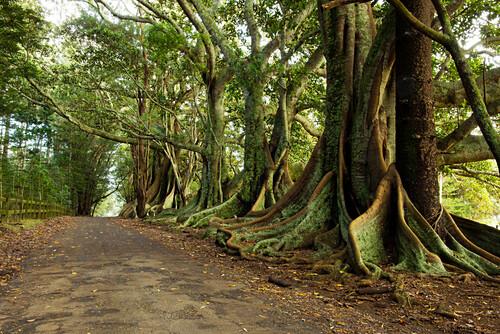 Gewaltige Moreton Bay Feigenbäume säumen eine Strasse im Inneren der Insel, Australien