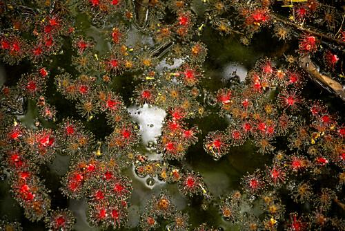 Blüten der Süßwassermangrove in den Mamukala Wetlands, Kakadu National Park, Northern Territory, Australien