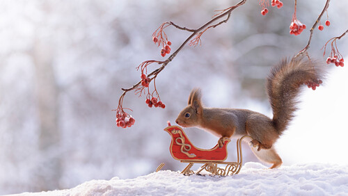 Red squirrel with sleigh on snow in winter
