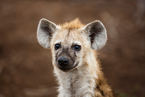 Spotted Hyena (Crocuta crocuta) one year old pup, Kruger National Park, South Africa