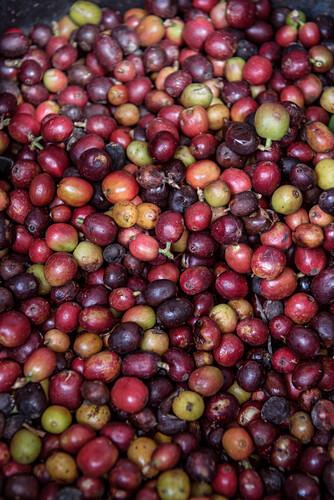 reife, geerntete Kaffeebohnen zur Weiterverarbeitung, Hacienda Venecia bei Manizales, UNESCO Welterbe Kaffee Dreieck (Zona Cafatera), Departmento Caldas, Kolumbien, Südamerika
