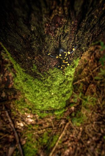 Fire salamander climbs tree in the woods, Tyrol, Austria