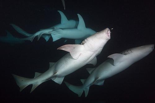 Ammenhaie in der Nacht, Nebrius ferrugineus, Felidhu Atoll, Indischer Ozean, Malediven