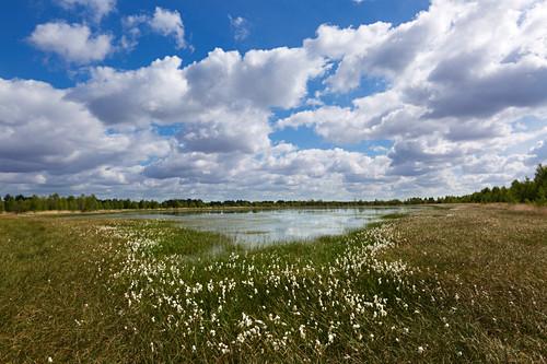 Wollgras im Moor, Emsland, Niedersachsen, Deutschland