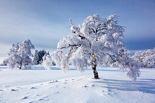 Birke, Winterlandschaft am Kahlen Asten nahe Winterberg, Sauerland, Nordrhein-Westfalen, Deutschland