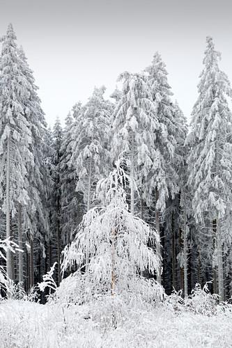 Fichtenwald, Winterlandschaft am Hohen Hagen nahe Winterberg, Sauerland, Nordrhein-Westfalen, Deutschland