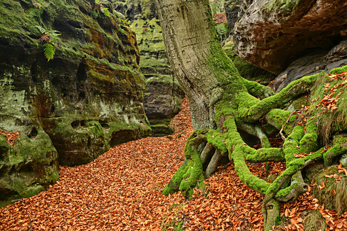 Baum wächst in Felsschlucht, Papststein, Elbsandsteingebirge, Nationalpark Sächsische Schweiz, Sächsische Schweiz, Sachsen, Deutschland