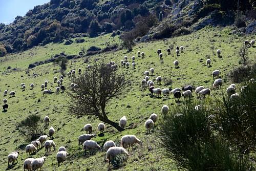 Flock of sheep at Isnello in La Madonie near Cefalu, Sicily, Italy
