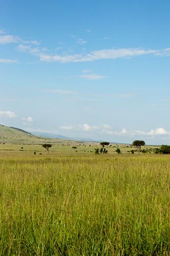 Typical landscape of the savannah, safari, national park, Masai Mara, Maasai Mara, Serengeti, Kenya
