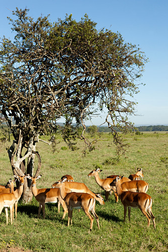 Impala antelope in the savannah, safari, Lake Nakuru National Park, Nakuru, Nakuru County, Kenya