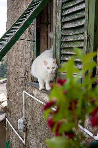 White cat on a window, house in the vineyards above Vernazza, Cinque Terre, Italy