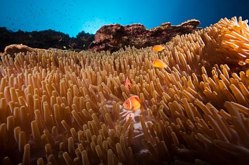 Collared clownfish in sea anemone, Amphiprion perideraion, Kimbe Bay, New Britain, Papua New Guinea