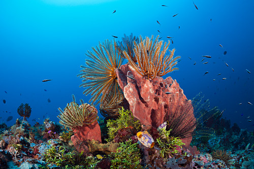 Feather stars on the reef, Comanthina schlegeli, Kimbe Bay, New Britain, Papua New Guinea