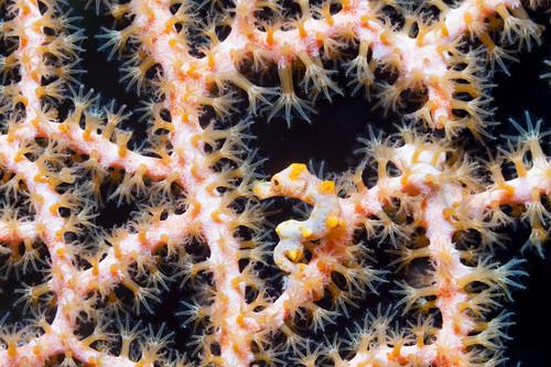 Dwarf seahorse, Hippocampus bargibanti, Kimbe Bay, New Britain, Papua New Guinea