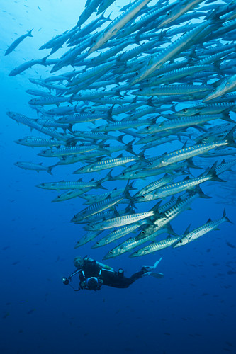 Shoal of darkfin barracudas, Sphyraena qenie, Kimbe Bay, New Britain, Papua New Guinea