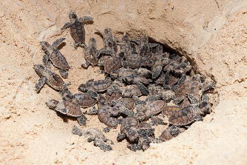 Hawksbill turtles hatch, Eretmochelys imbricata, New Ireland, Papua New Guinea