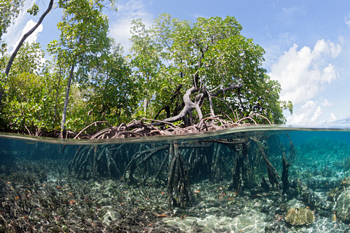 Aerial roots of mangroves, New Ireland, Papua New Guinea