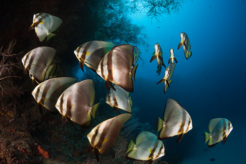 Shoal of longfin batfish, Platax teira, New Ireland, Papua New Guinea