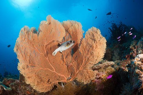 Black-spot puffer fish in front of gorgonians, Arothron nigropunctatus, New Ireland, Papua New Guinea