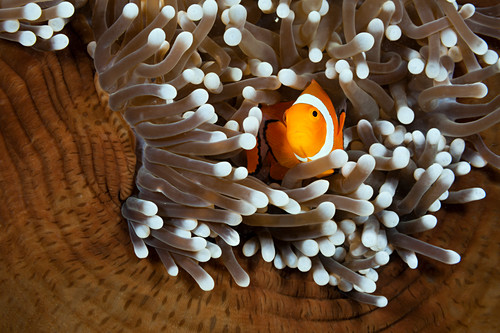 Orange marigold anemonefish, Amphiprion ocellaris, New Ireland, Papua New Guinea