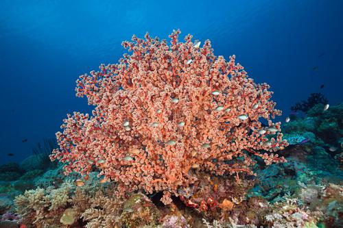 Godeffroys soft coral, Siphonogorgia godeffroy, New Ireland, Papua New Guinea
