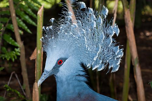 Victoria crowned pigeon, Goura victoria, Papua New Guinea