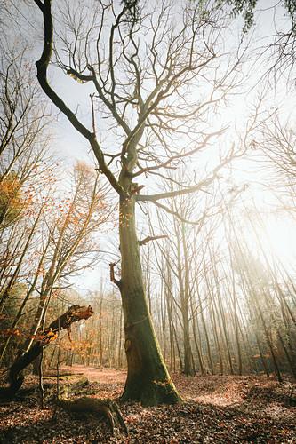 Herbst im Wald, alte Eiche, Odenwald, Hessen,  Deutschland