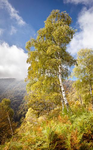 Birkenwald bei Trarego, Viggiona, Cannero, Piemont, Italien
