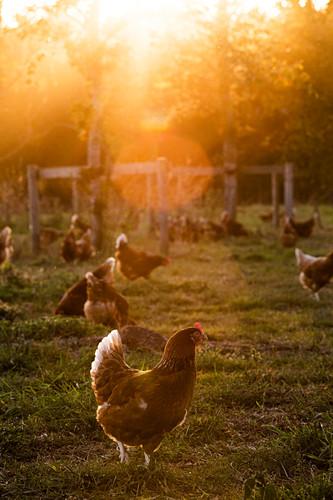 Freilandhühner im Freien im frühen Morgenlicht auf einem Bio-Bauernhof