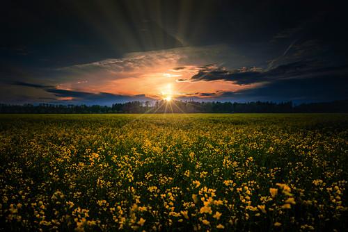 Sonnenuntergang vor einem Rapsfeld, dunkler Himmel mit Wolken, Oberbayern, Bayern, Deutschland