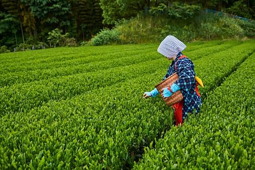 Japan, Honshu, Shizuoka, Teefelder, Teepflücken