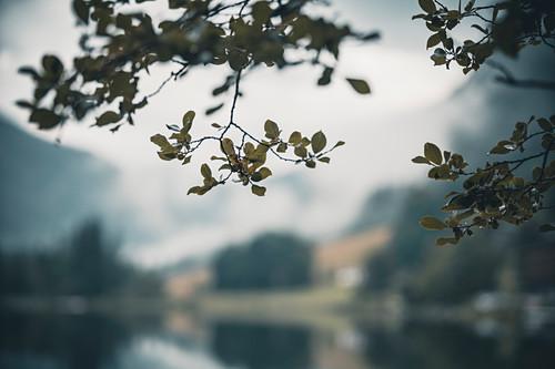 Herabhängende Blätter eines Baumes am Hintersee als Bildausschnitt mit selektivem Fokus, Hintersee, Berchteslgadener Land, Bayern, Deutschland