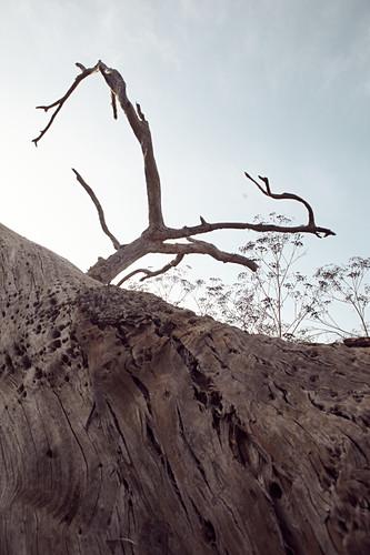 Toter Baum im Abendlicht bei Big Sur, Kalifornien, USA.