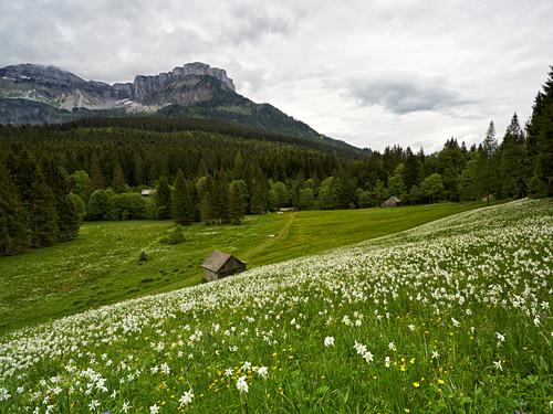 Narzissenwiese bei der Blaa-Alm, Steiermark, Österreich.
