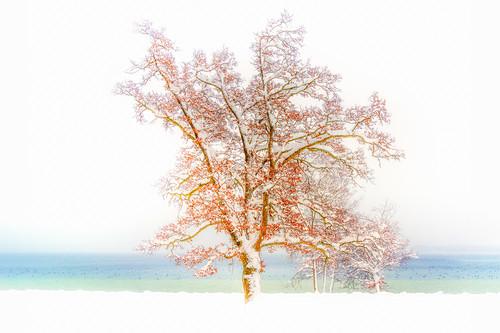 Beschneiter, beblätterter Baum am Ufer des Starnberger See, Tutzing, Bayern, Deutschland