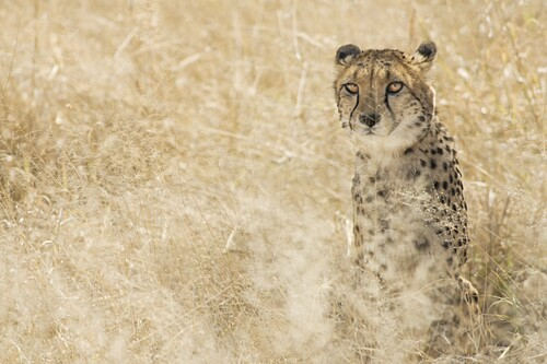 Cheetah (Acynonix jubatus) sitting in grassy Kalahari plains, Namibia, Africa