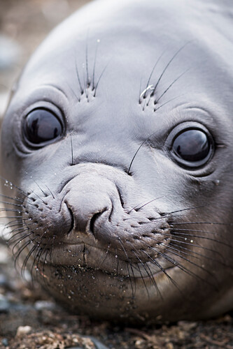 Portrait of a baby Elephant seal, Elephant Point, Livingstone Island, South Shetland Islands, Antarctica.