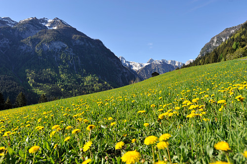 Blooming meadow in the Valley of Lesach, view to the Karnischer Kamm, East Tyrol, Austria