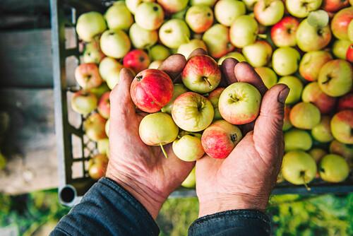 Farmer holding apples