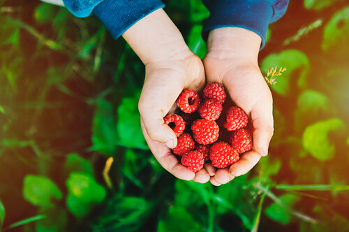 Close up of hands holding raspberries